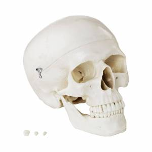 physa Kranie-model hvid
