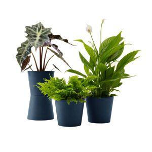Flowy Plante - Spathiphyllum, Bananier, Nephrolepis pot bleu nuit