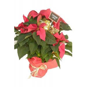 Roses d'Antibes ETOILE DE NOEL