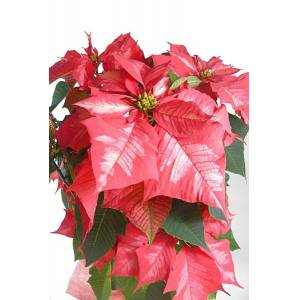 Roses d'Antibes ETOILE DE NOEL (rouge vif nervure rouge pale)