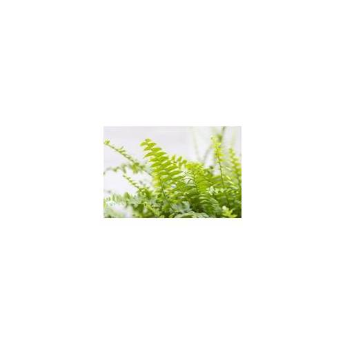 Hamiplant Schwertfarn Green Lady ASP 17 cm Topf