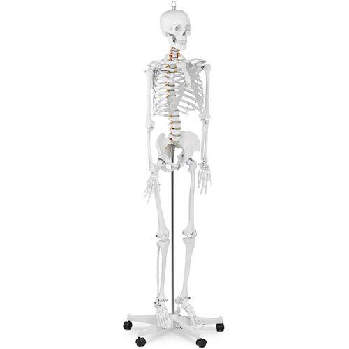 Physa - Skelett Modell Menschliches Skelett Anatomisches Modell Skelett