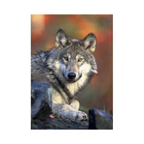 Grafika Kids Wolf 24 Teile Puzzle Grafika-Kids-00517