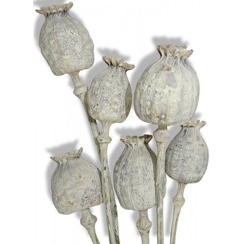 zeitzone Mohnkapseln getrocknet Weiß Mohn mit Stiel Bund Mohnblumen Trockenblumen