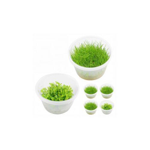 Planet Plans Planet Plants Invitro Cups Eleocharis & Rotala bonsai
