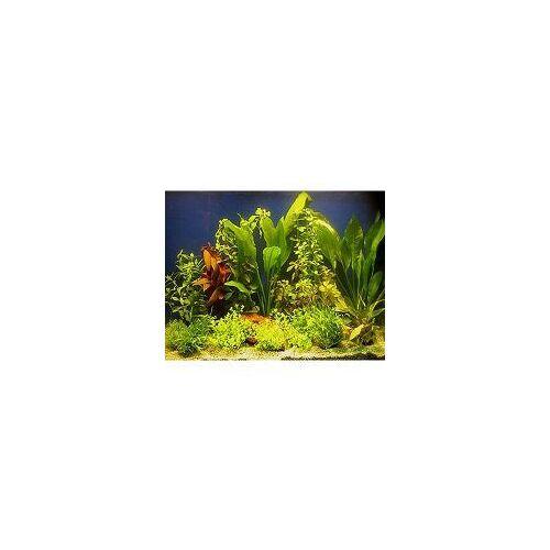Aquarienpflanzen 100-120cm 15 Pflanzen