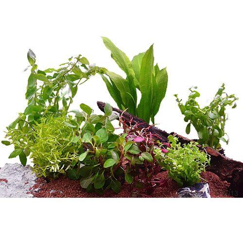 Aquarienpflanzen 60cm 7 Pflanzen
