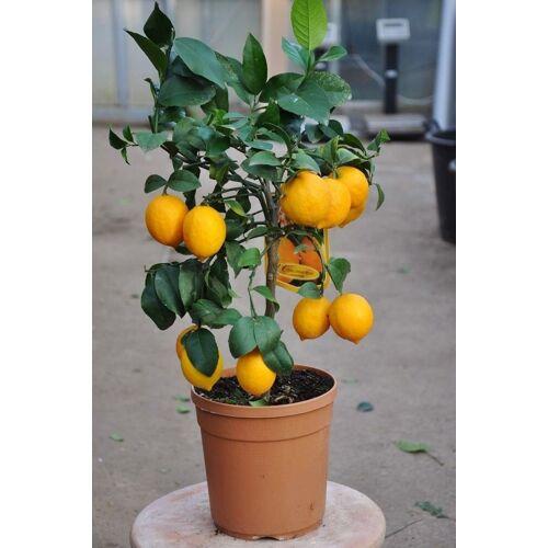 Zitronenbaum (Meyers Zitrone) aus Italien