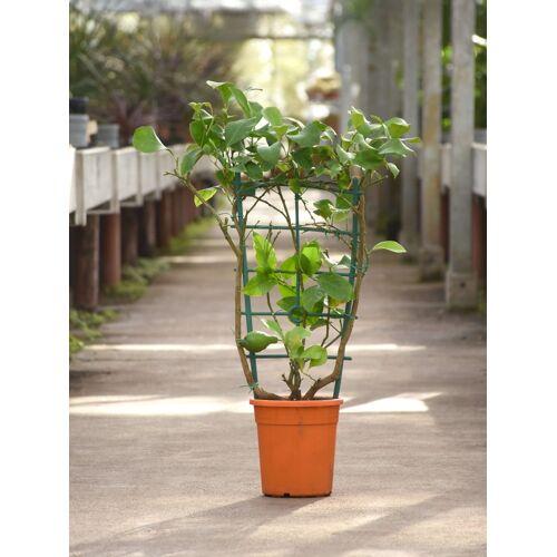 Zitronenbaum aus Italien