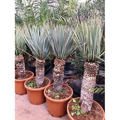 Yucca (Blaue Yucca, Palmlilie)