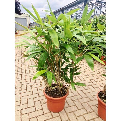 Bambus (Bodendeckerbambus) 2 Liter