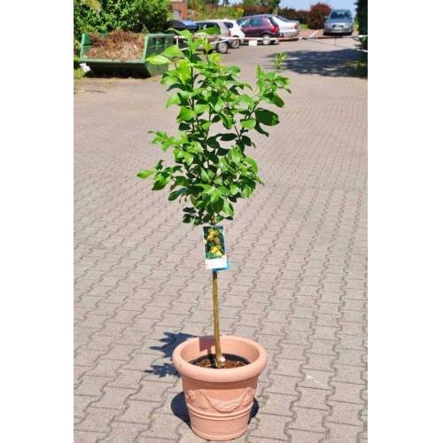 Zitronenbaum (Spanische Zitrone)
