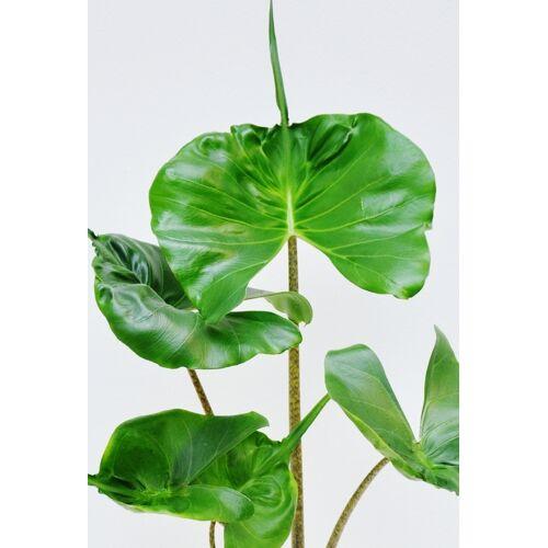 Pfeilblatt (Elefantenohr) Stingray