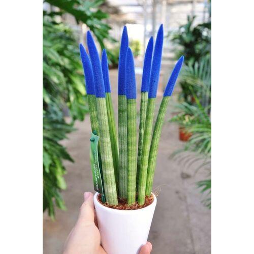 Sansevieria (Bogenhanf) blau