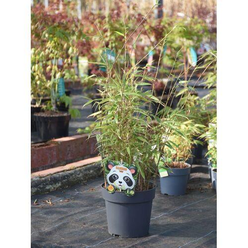 Bambus (Heckenbambus Rufa) 3 Liter