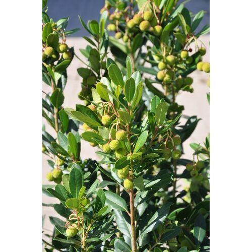 Erdbeerbaum (Arbutus)