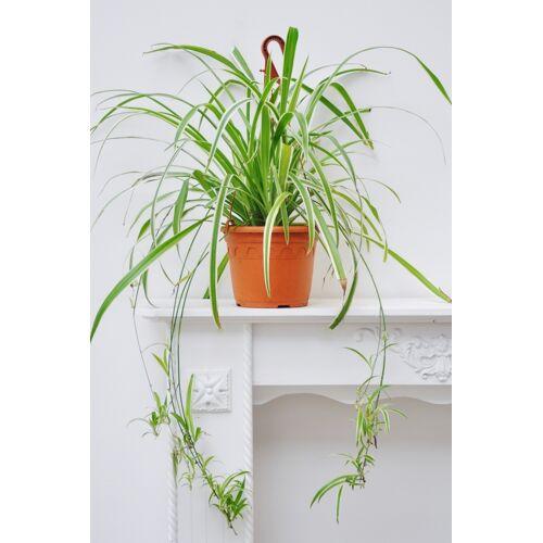 Grünlilie (Ampel) groß