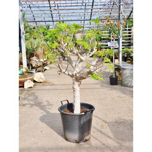 Feigenbaum (Alt) blaue Frucht