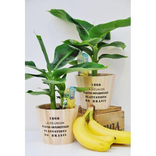 Bananenstaude (Zwerg-Essbanane) mit Übertopf
