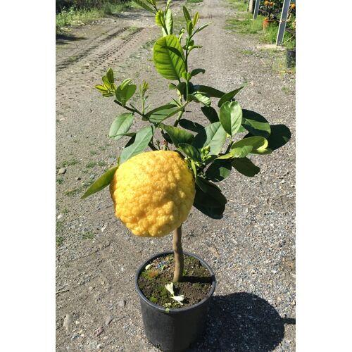 Pampelmuse (Riesen-Zitrone)