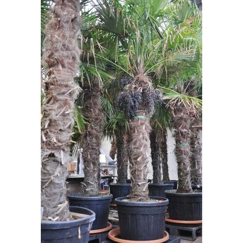 Hanfpalme (Fortunei) bis 2,20m Stamm Restposten