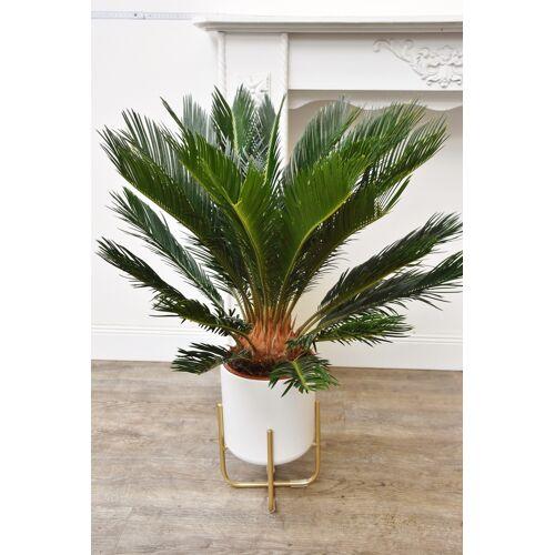 Palmfarn (Sago-Palme)