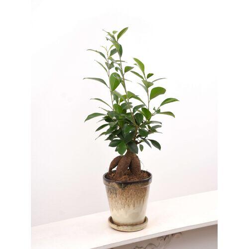 Ficus (Chinesische Feige, Ficus Ginseng Bonsai)