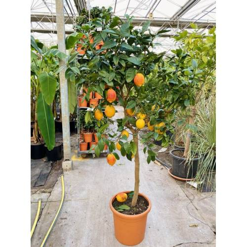 Zitronenbaum (Rote Zitrone) Rosso