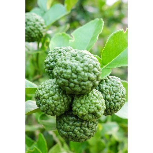 Limettenbaum (Kaffir Limette)