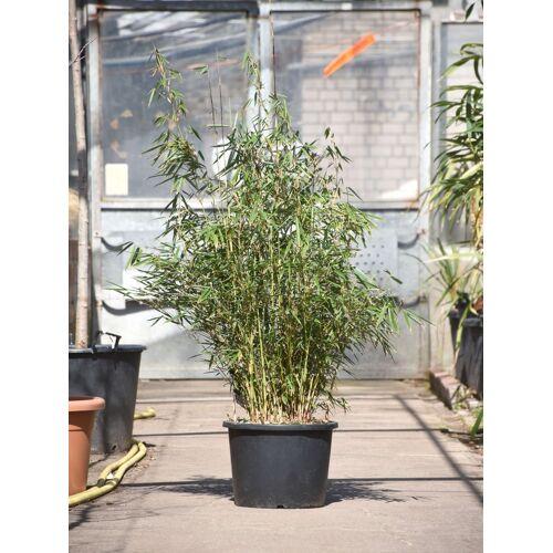 Bambus (Hoher Heckenbambus) Campbell 15 Liter