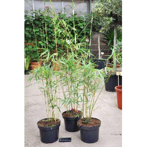 Bambus (Hoher Heckenbambus) Campbell 6 Liter