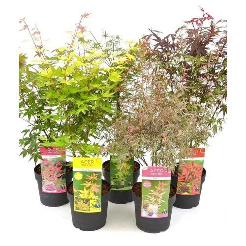 Ahorn Mix (Japanischer Schlitzahorn) 3 Pflanzen