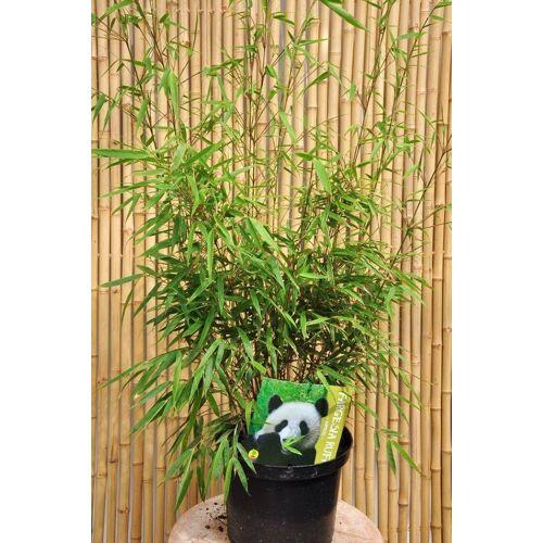 Bambus (Heckenbambus Rufa) 6 Liter