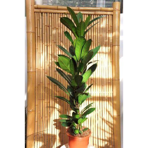 Ficus (Afrikanische Feige)