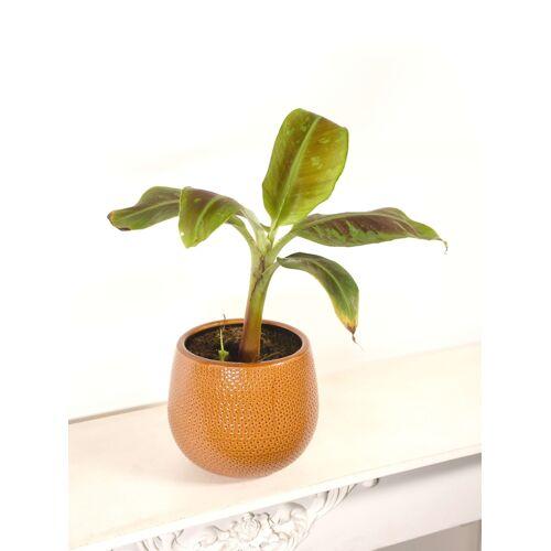 Bananenstaude (Zwerg-Essbanane)