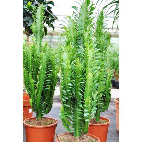 Wolfsmilch (Euphorbia) grün