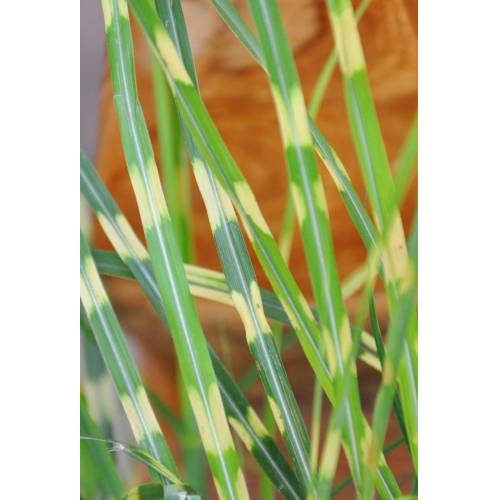 Chinaschilf (Little Zebra)