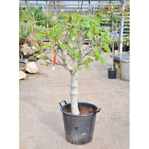 Feigenbaum (Alt) grüne Frucht