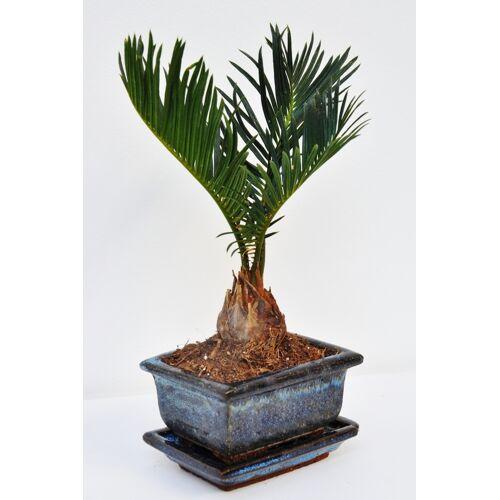 Palmfarn (Sago-Palme) mit Keramik-Topf