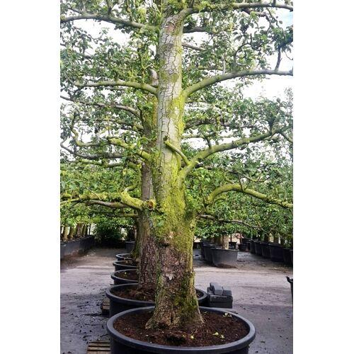 Birne (Alter Plantagenbaum)