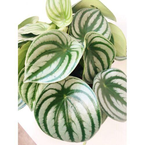 Wassermelonen-Peperomia