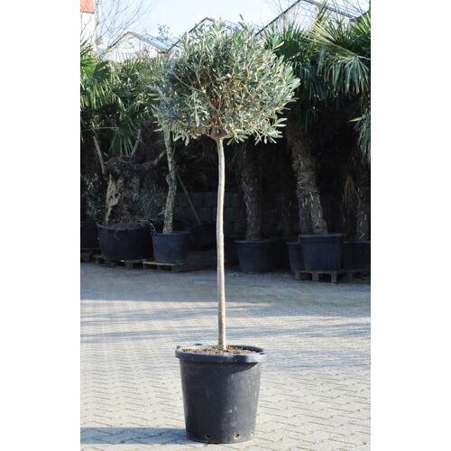 Olivenbaum (Hochstamm)