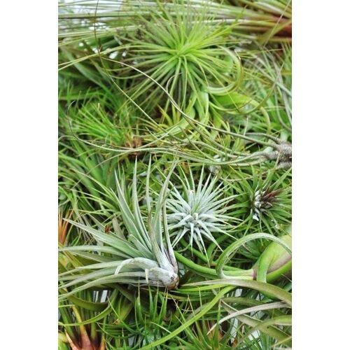 Tillandsien Mix (5 Pflanzen)