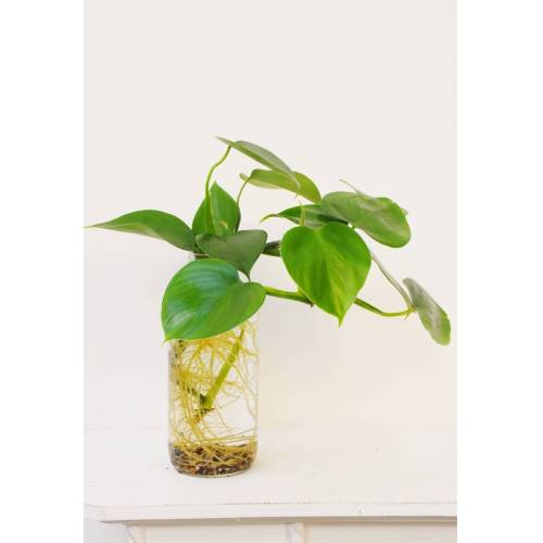 Philodendron im Glas