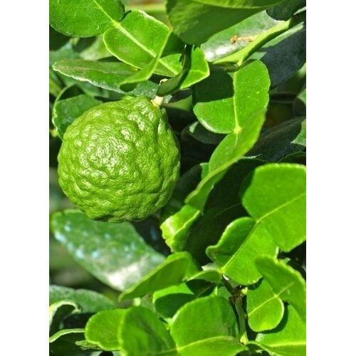 Limettenbaum (Kaffir-Limette)