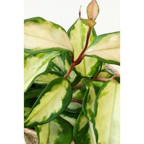 Wachsblume (Porzellanblume) Tricolor