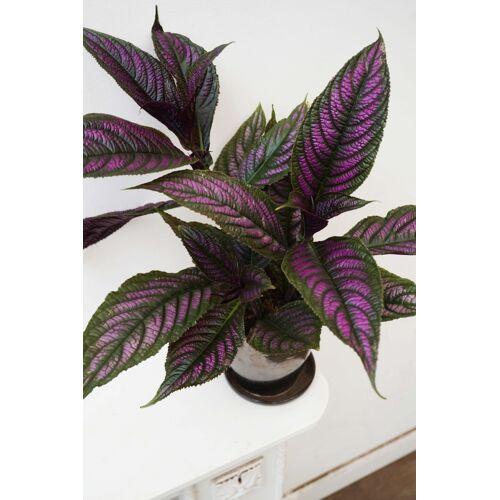 Persische Schildpflanze
