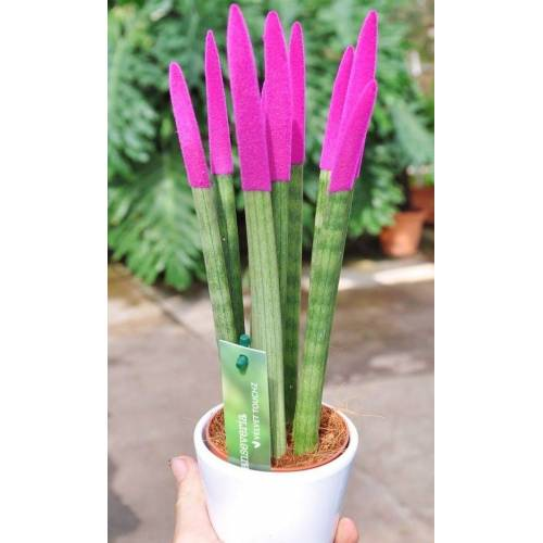 Sansevieria (Bogenhanf) pink