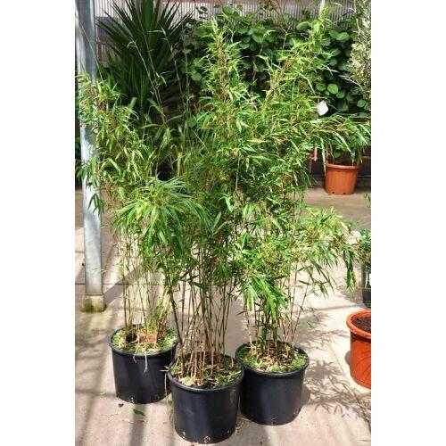 Bambus (Heckenbambus Rufa) 15 Liter