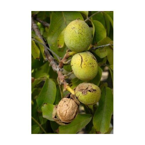 Walnussbaum (Echte Walnuss)